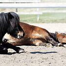 19.5.2017: Tired Shetland Ponies by Petri Volanen