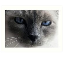 The blue eyed cat Art Print