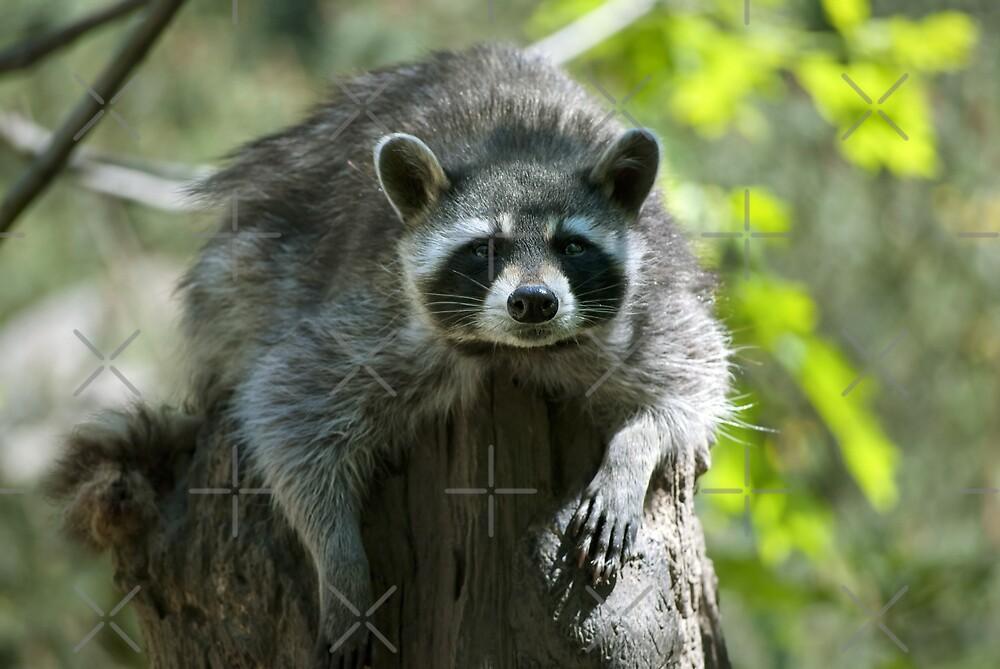 Raccoon by Vac1