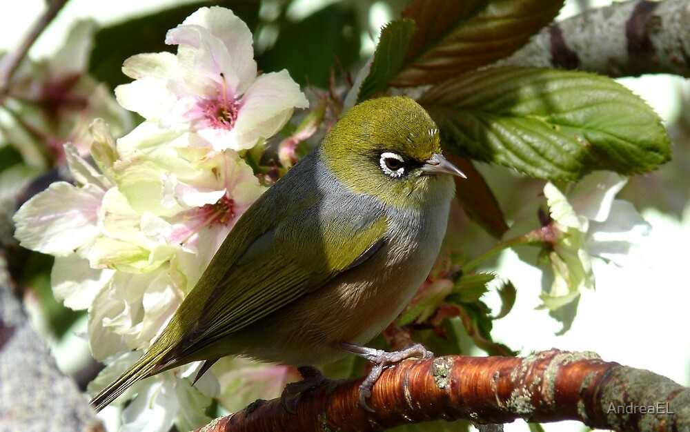 I'm waiting for my bride! - Silvereye - NZ by AndreaEL