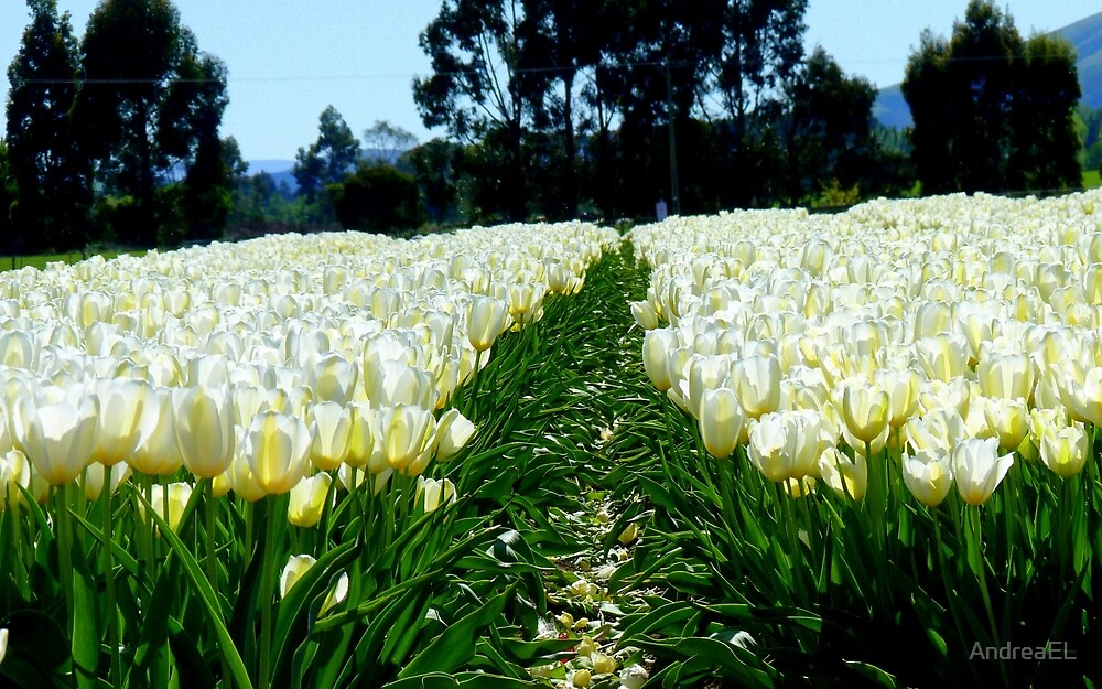White Velvet - Tulip Plantation - NZ by AndreaEL