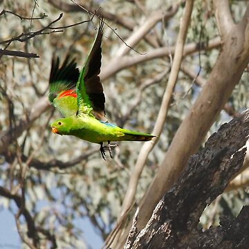 King Parrot Free as a Bird by Ohlordi