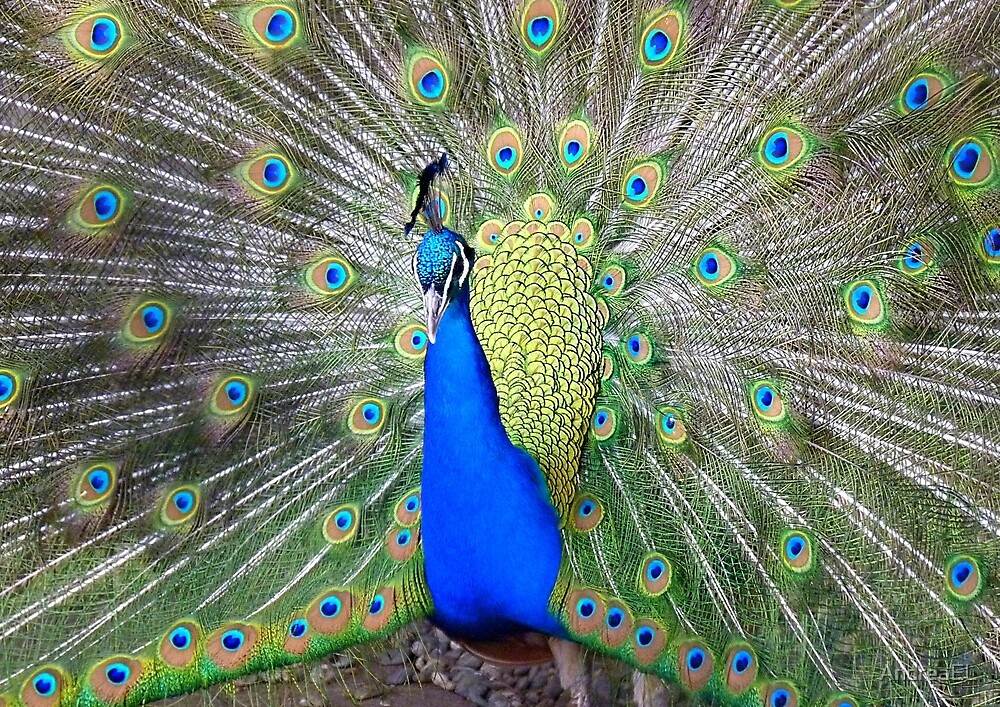 Am I Impressing YOU Yet! - Peacock - NZ by AndreaEL