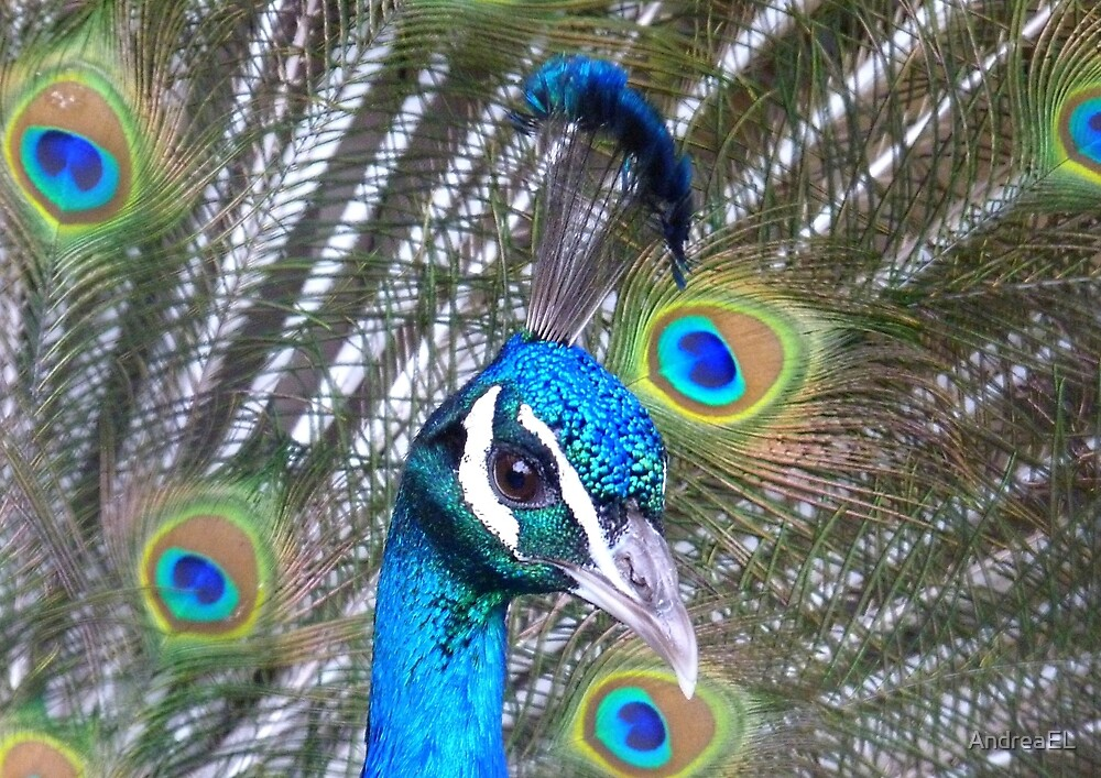 Iridescent Feathers! - Peacock NZ by AndreaEL