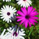 African Daisies by jean-louis bouzou