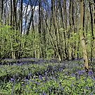 Everdon Stubbs Wood Bluebells  by Avril Harris