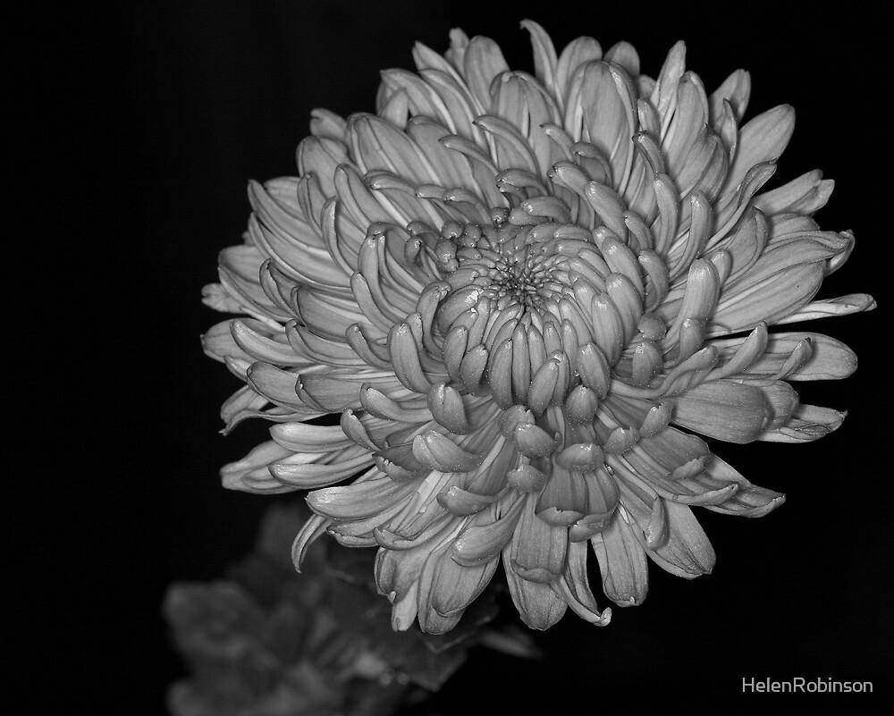 Chrysanth mono by HelenRobinson
