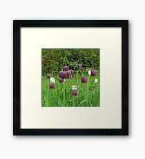 Kievitsbloem ~ Fritillaria Meleagris  Framed Print