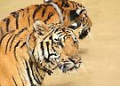 Two Tigers During Water Play  by Carole-Anne