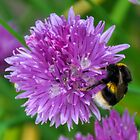 Bee on Chives...........Lyme. Dorset UK by lynn carter