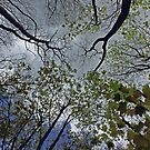 Tree canopy in the spring by Avril Harris
