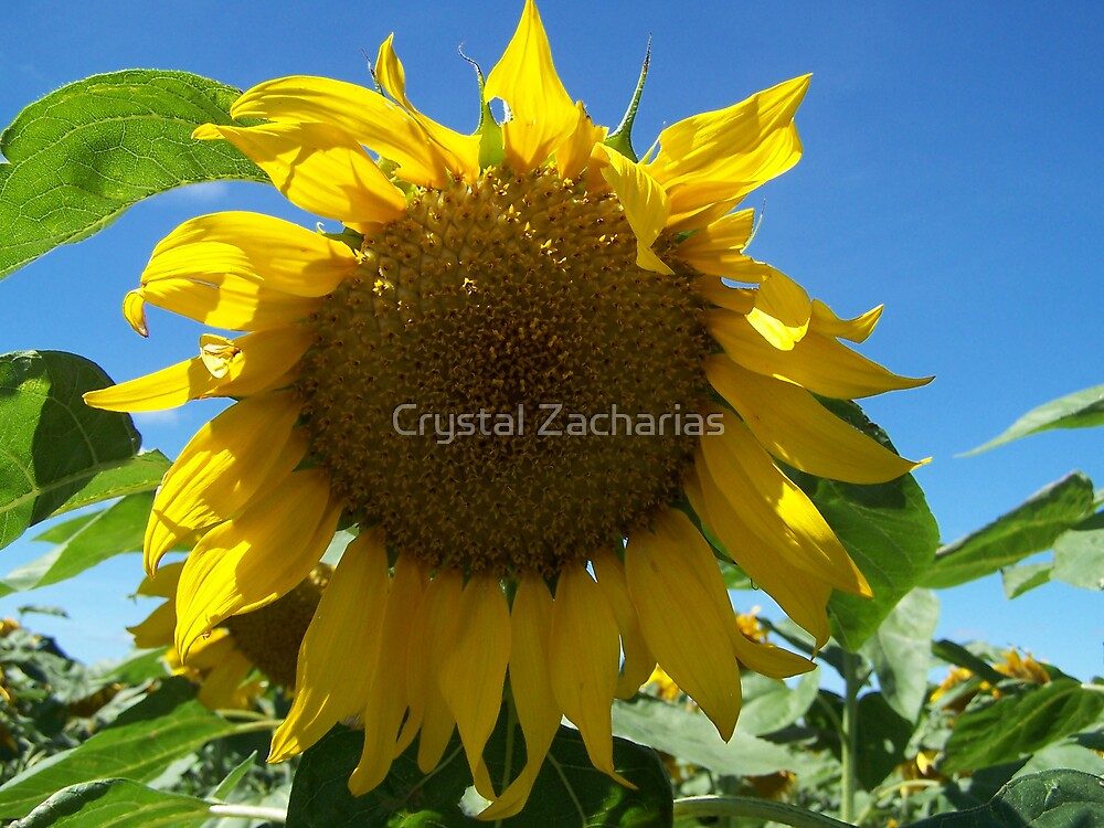 Sunflower by Crystal Zacharias
