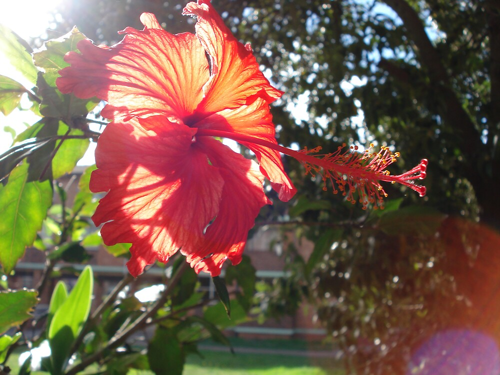 sunny hibiscus by kveta