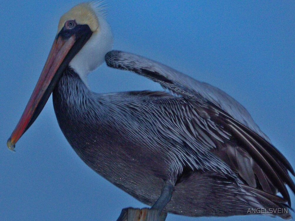 Pelican Pose by ANGELSVEIN
