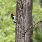 Red-headed Woodpecker 2017-1 by Thomas Young