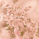 Valarian Blossoms Macro by Sandra Foster