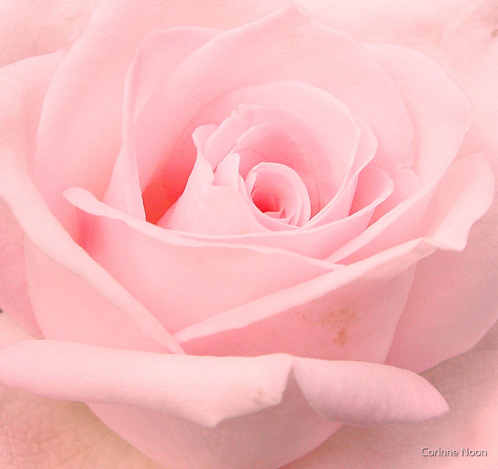 """Baby """"pink""""  rose by Corinne Noon"""