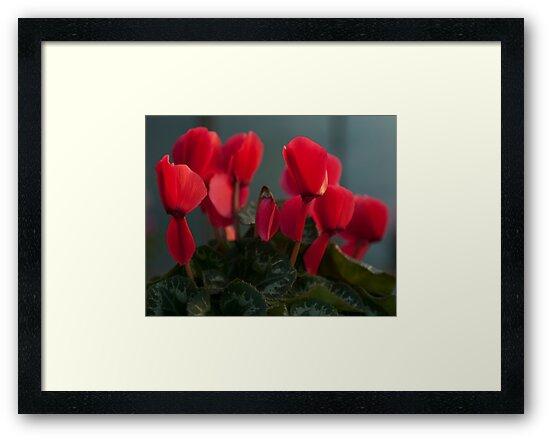 Dark red Cyclamen flower photography by SammyPhoto