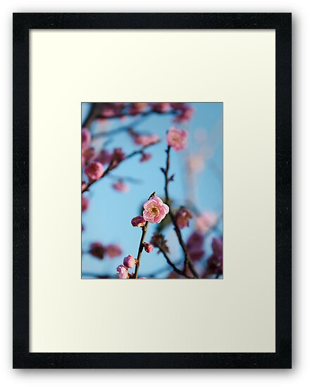 Plum blossom botanical photography by SammyPhoto