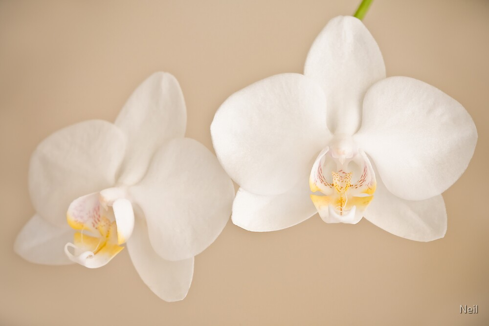 Phalaenopsis with love by Neil