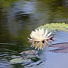 White Water Lily by Darlene Lankford Honeycutt
