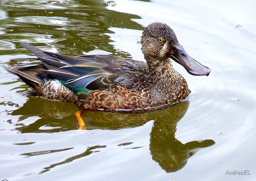 Bill Shoveler - Shoveler Duck - NZ by AndreaEL