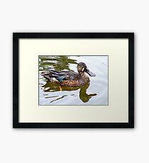 Bill Shoveler - Shoveler Duck - NZ Framed Print