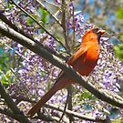 Cardinal in Wisteria by MarianBendeth