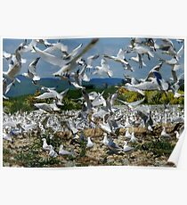Suspended Animation - Seagull Colony - NZ Poster