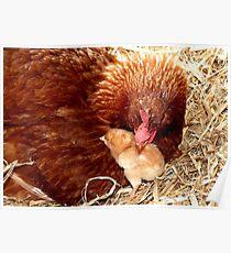 Acceptance! - Chickens - NZ Poster
