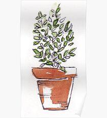 Herbs in pots - Lemon thyme Poster