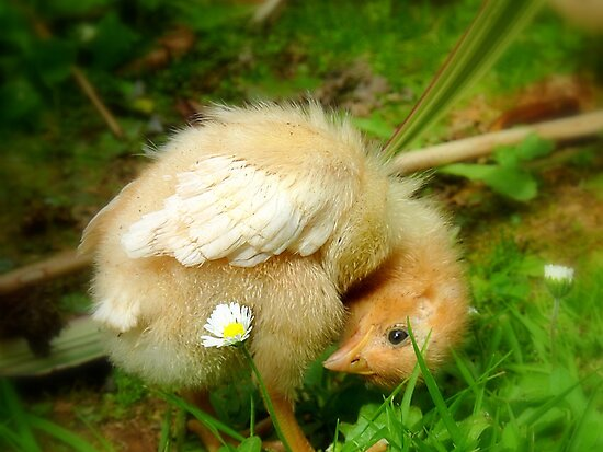 Whoops-a- Daisy! - Baby Chick - NZ by AndreaEL