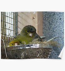 This Is Junior! - Mother & Child - Gloster Canary - NZ Poster