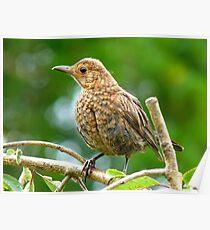 Look I Still Have My Egg Tooth! - Baby Black Bird - NZ Poster