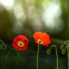 two red poppies by LudaNayvelt