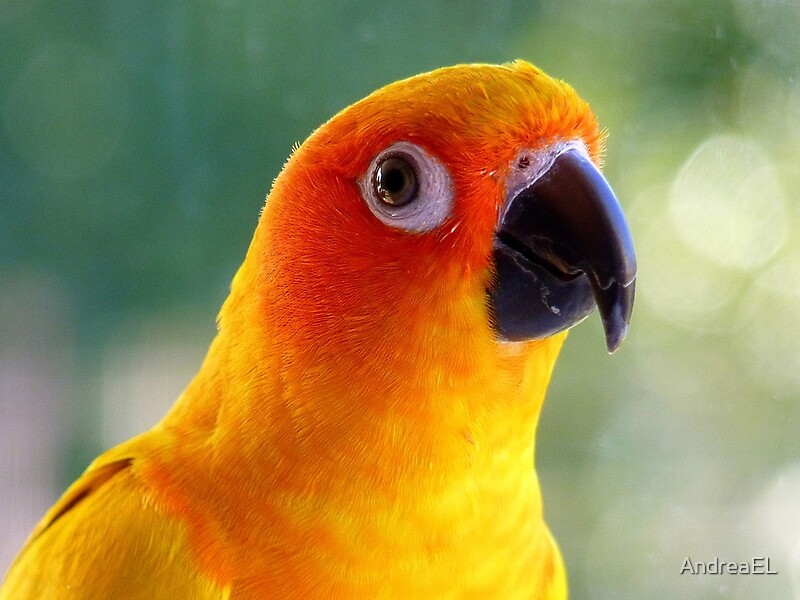 Quot I Might Be Up To Mischief Sun Conure Nz Quot By Andreael