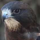 Swainson's Hawk by Laura Puglia
