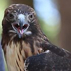 Red Tailed Hawk by Laura Puglia
