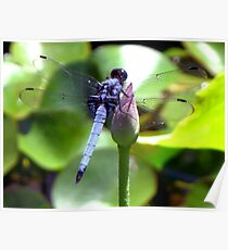 Blue Japanese Dragonfly Poster