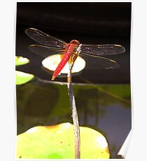 Red Japanese Dragonfly Poster