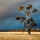 Golden Gum by David Haworth