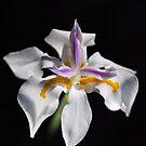 Beautiful White Iris Solo by Joy Watson