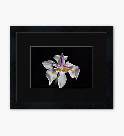 Beautiful White Iris Solo Framed Print