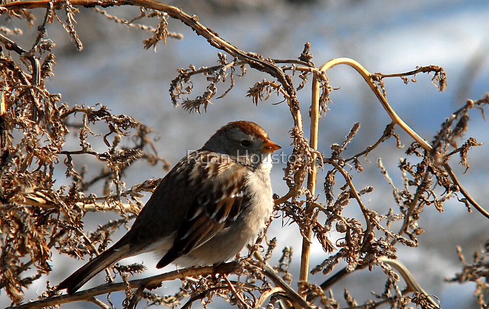 Feeding Sparrow by Ryan Houston