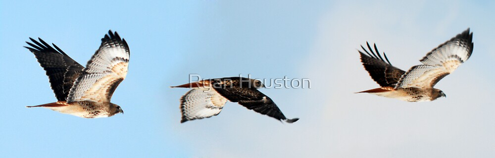 Redtailed Hawk - Flight by Ryan Houston