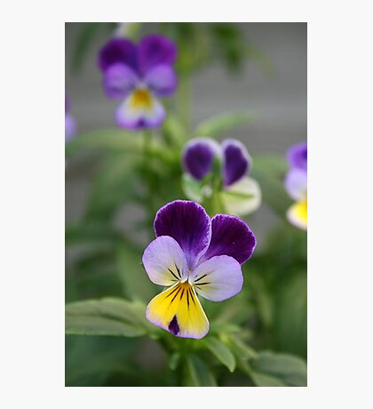 Don't Call Us Pansies Photographic Print