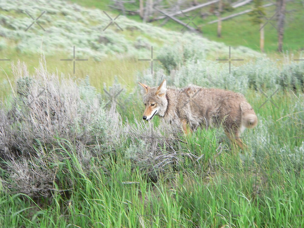 Coyote On The Prowl by kevint