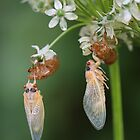 Cicadas emerging by Alice Kahn