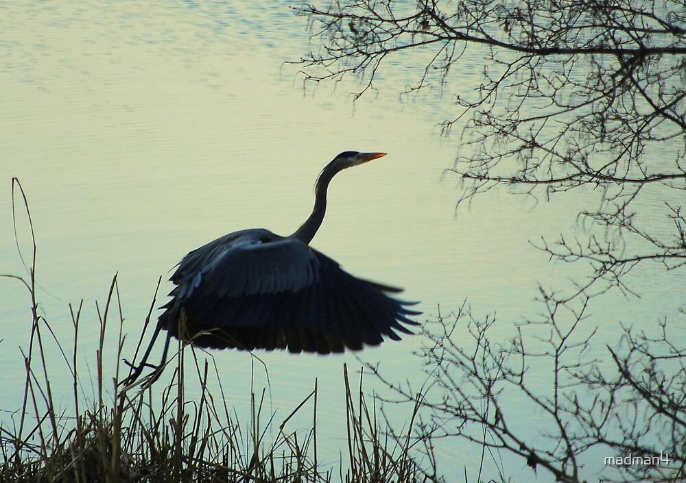Heron Taking off by madman4