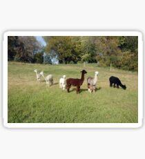 Six of Eight Alpacas Sticker